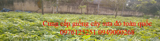Giống cây sưa đỏ