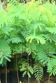 Kỹ thuật trồng cây lim xẹt